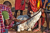 Masai preparing to obtain cow blood from its jugular, which they will mix with milk for consumption. This is one of the ways they increase protien in their diet.