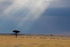 An approaching storm on the Masai Mara with Acacia Tree and Wildebeest