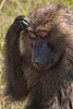 A female Baboon in deep thought?