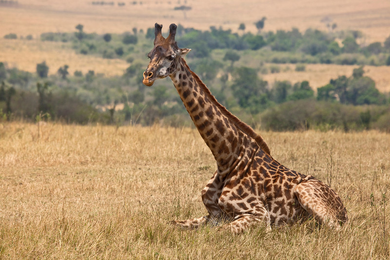 A Giraffe resting during midday