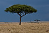 Acacia trees in the Mara