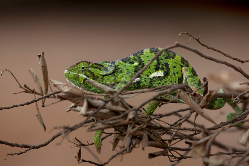 A Chameleon of the Masai Mara