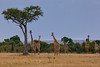 A tower of Giraffes, yes, a group of Giraffes are called a tower