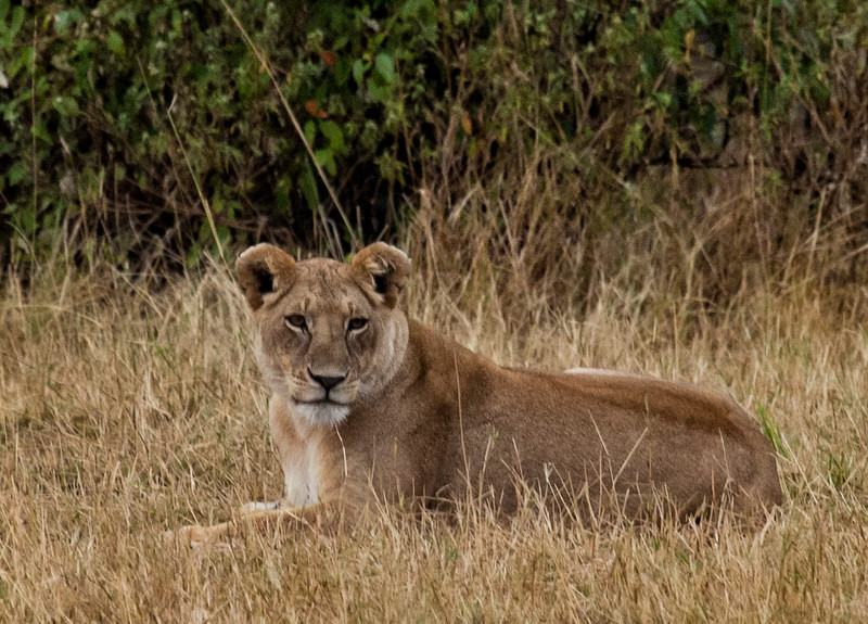 Lioness in the grass near the Mara River