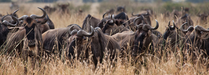 Wildebeest in the tall grass of the Masa Mara
