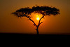 Acacia Tree at sunrise on the Masai Mara