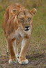 A mother Lion headed toward her young