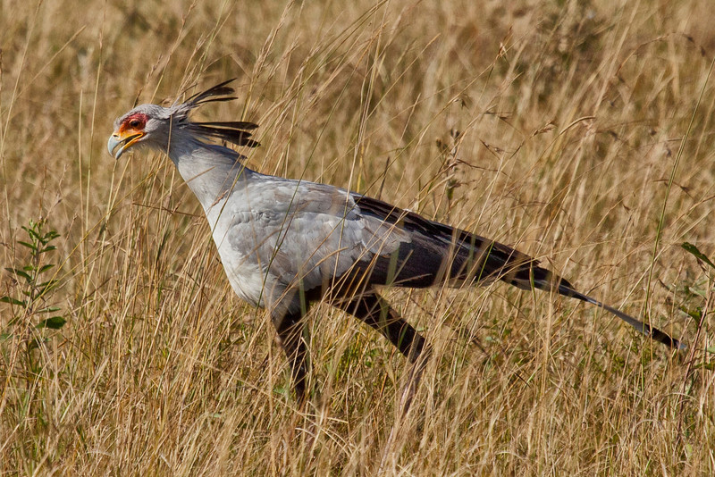 A Secretary Bird searching for insects and rodents in the tall grass of the Masai Mara