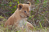 A Lion Cub in the brush next to the Mara River