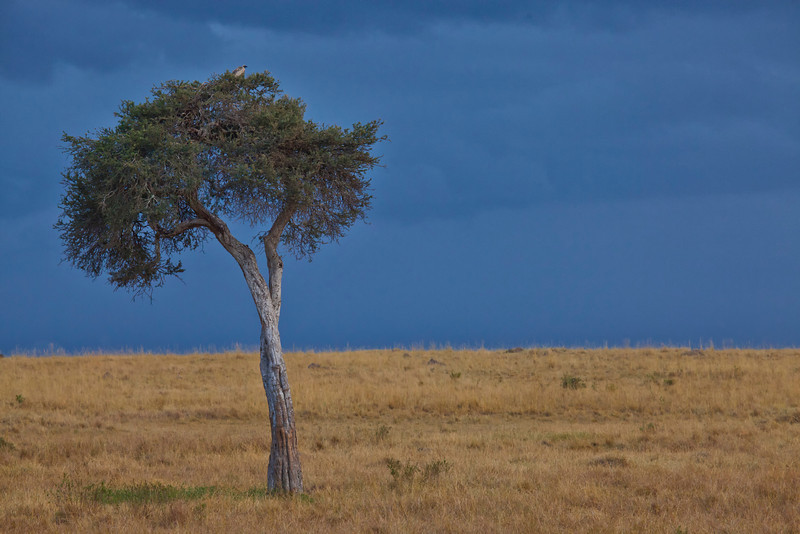An Acacia Tree with approaching storm on the Masai Mara