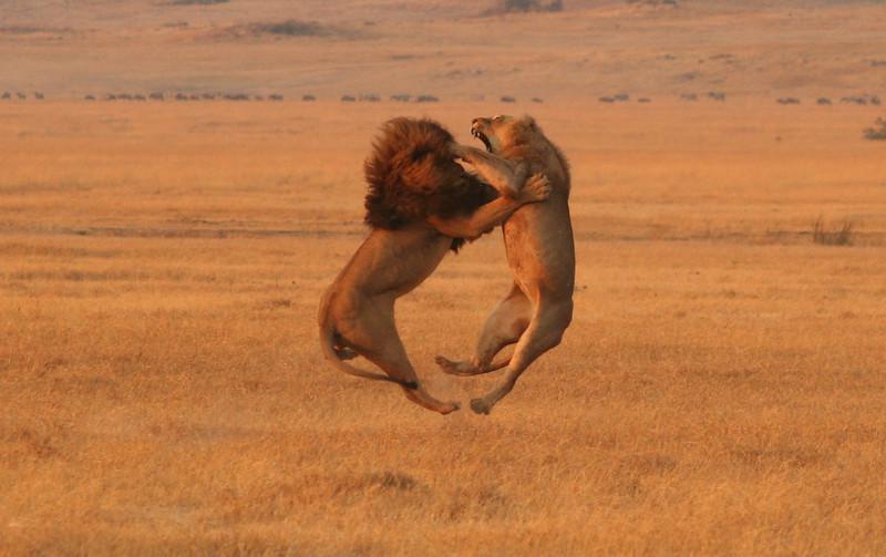 Lions fighting in Ngorongoro Crater, Tanzania
