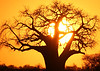 Sun setting behind a Baobab tree in Tanzania