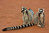 Ring Tailed Lemurs at the Berenty Reserve in the semi-arid spiny forest region in southern Madagascar