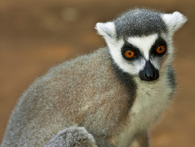 A ring tailed Lemur at the Berenty Reserve.