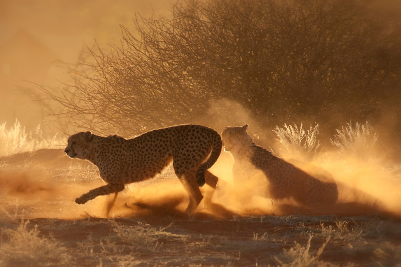 Cheetahs at Bagatelle Kalahari Game Ranch, Namibia.