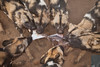 Wild Dogs ripping apart Springbok,  Naankuse, Namibia