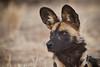 Wild Dog,  Naankuse, Namibia
