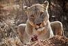 Lioness eating Springbok, Naankuse, Namibia