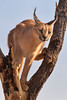 Female Caracal, Naankuse, Namibia