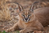 Male Caracal, Naankuse, Namibia