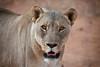 Female Lion, Naankuse, Namibia