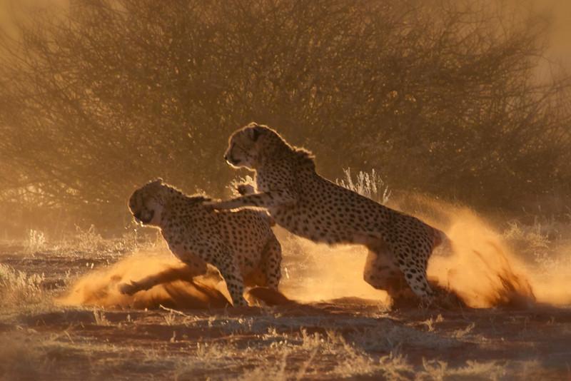 Cheetahs at Bagatelle Kalahari Game Ranch, Namibia.