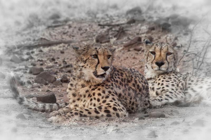 Cheetahs resting, Okonjima, Namibia