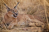 Female Caracal, Naankuse, Namibia