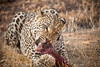 Leopard enjoying a Springbok meal, Naankuse, Namibia