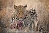 Leopard enjoying a Springbok meal, Naankuse, Namibia