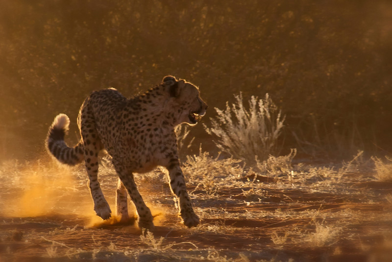 Cheetah at Bagatelle Kalahari Game Ranch, Namibia.