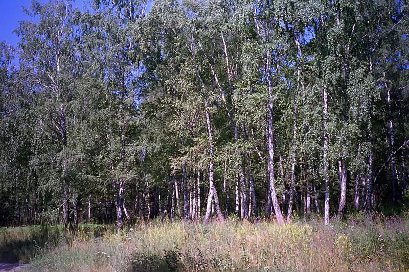 Birch Forest Near Krasnoyarsk<br /> April, 1993
