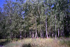 Birch Forest Near Krasnoyarsk<br /> April, 1993