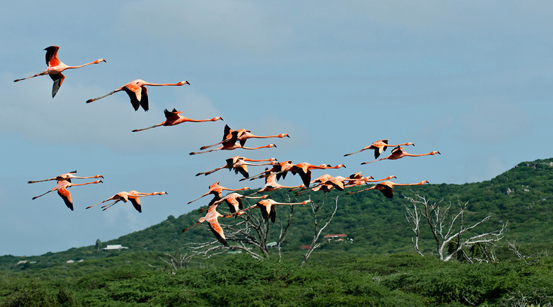 Jan Kok flamingo sanctuary, Curaçao