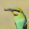 Rainbow Bee-eater (Merops ornatus) with a cicada