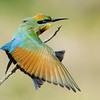 Rainbow Bee-eater (Merops ornatus) Stretching