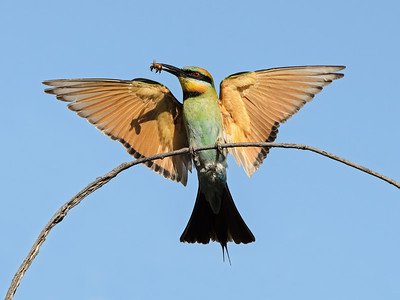 Bee-eaters and Dollar Birds