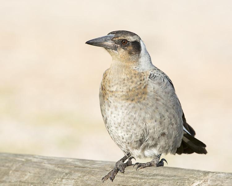 Juvenile Magpie