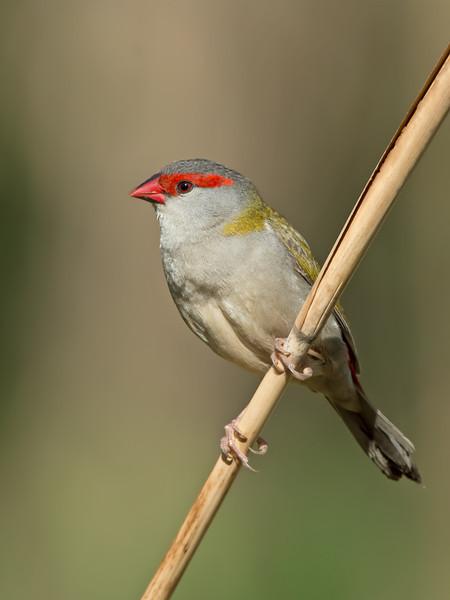 Red-browed Finch, Tallebudgera, Gold Coast.