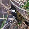 Eastern Whipbird, (Psophodes olivaceus)