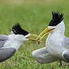 Crested Terns (Thalasseus Bergii) exchanging