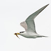 Tern with a Fish