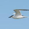 Gull-billed Tern (Gelochelidon nilotica)
