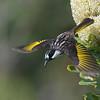 White-cheeked Honeyeater (Phylidonyris niger)