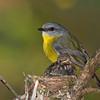 Eastern Yellow Robin Chicks (Eopsaltria australis)