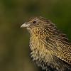 Pheasant Coucal Juvenille (Centropus phasianinus)