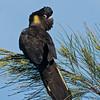 Yellow-tailed Black Cockatoo (Calyptorhynchus funereus)
