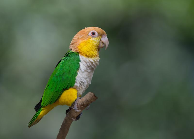 White-bellied caique/parrot (Pionites leucogaster)