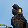 Yellow-tailed Black Cockatoo (Calyptorhynchus funereus)