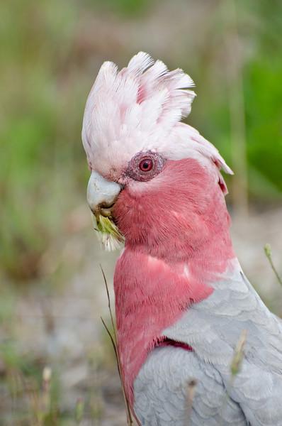"""Galah , """"Pink and Gray"""" ( Eolophus Roseicapilla )"""